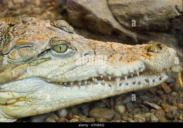 Crocodile Crocodylus - Stock Image