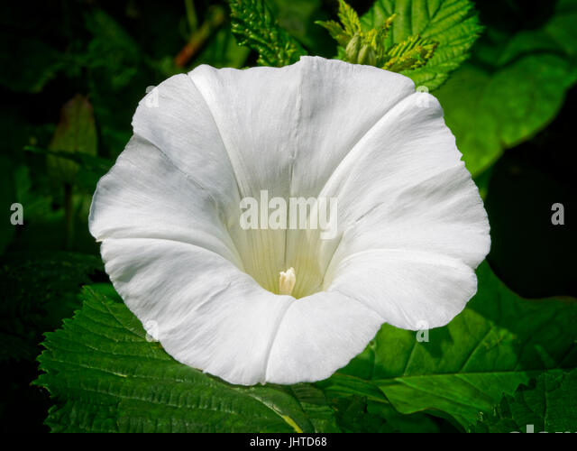Trumpet Shaped Flower Stock Photos & Trumpet Shaped Flower ...
