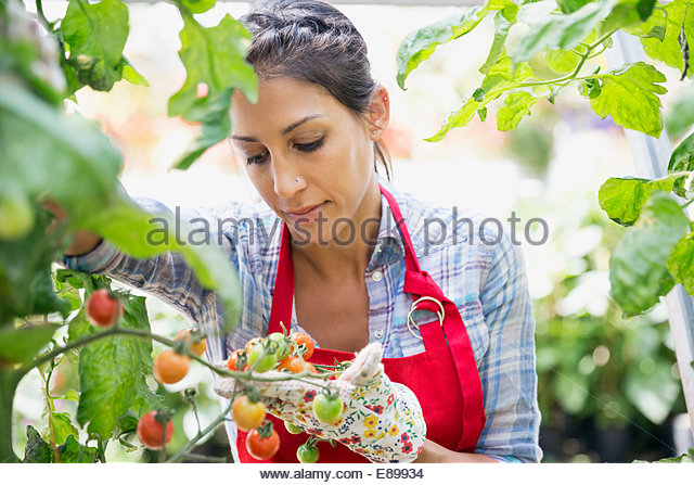 Worker examining tomato plant in plant nursery - Stock Image