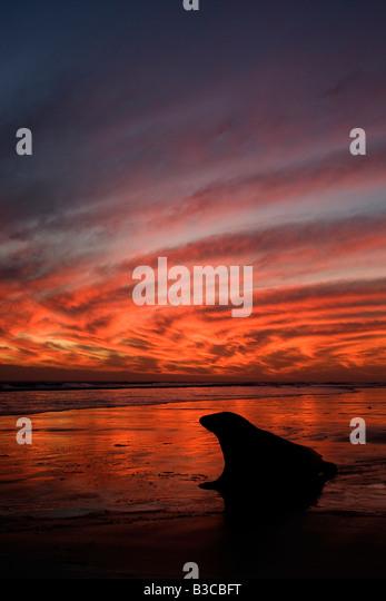Grey Seal (Halichoerus grypus) at sunrise - Stock-Bilder