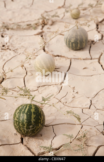 Young water Melons growing on parched mud, close to Riyadh, Saudi Arabia - Stock Image