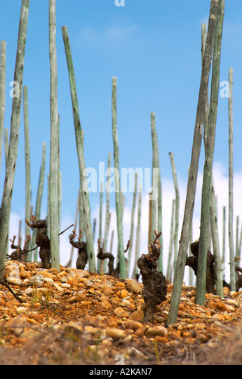 Old vines on stony pebbly soil and with wooden supporting poles. After winter pruning but before leaves start growing. - Stock Image