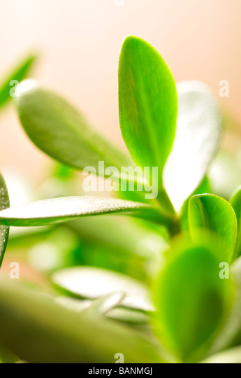 Jade plant friendship tree or money plant Crassula ovata succulent green leaves - Stock Image