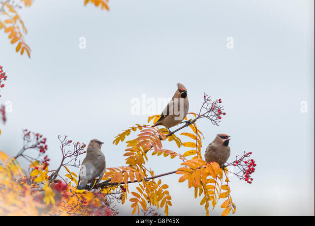Three Waxwings sitting in a Rowan tree with berries on it and leaves are in autumn color yellow, Gällivare, - Stock-Bilder