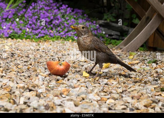 A juvenile blackbird eating an apple in a garden - Stock Image