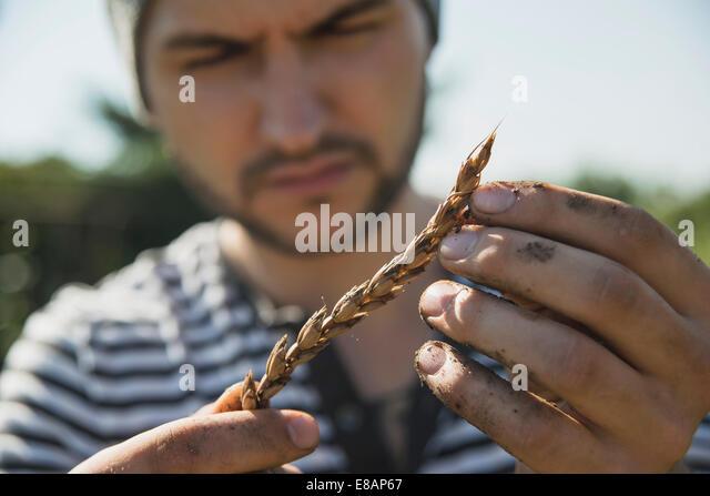 Gardener holding ear of wheat - Stock Image