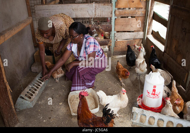 Woman Feeding Chickens Stock Photos & Woman Feeding ...