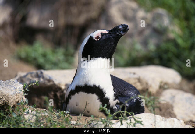 jackass penguin - Stock Image