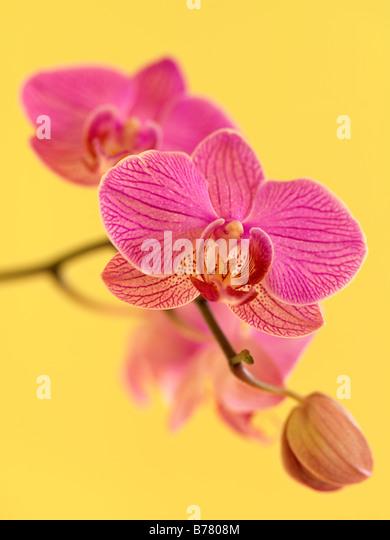 Phalaenopsis Orchid - Stock-Bilder