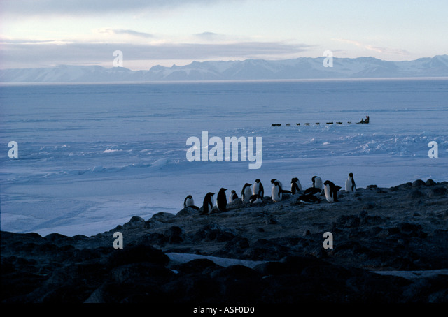Team of huskies pulling sledge on fast sea ice in front of Adelie penguin colony Cape Royds Ross Island Antarctica - Stock Image