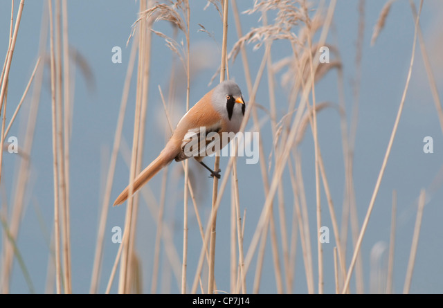 Bearded Tit, Panarus biarmicus perched in reeds against a blue / water background - Stock Image