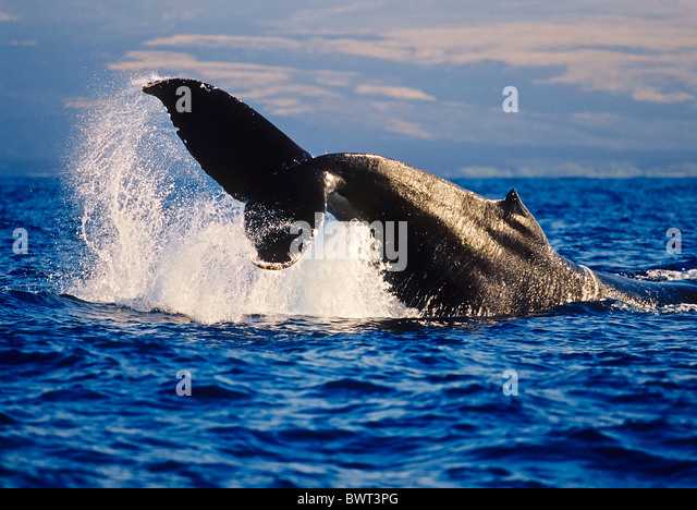 Humpback Whale Displaying Peduncle Throw Behavior - Stock Image
