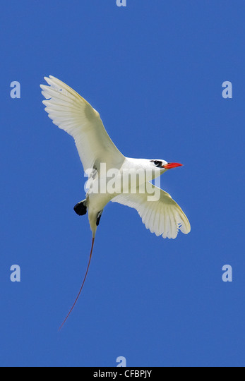 Red-tailed tropicbird (Phaethon rubicauda) in exaggerated courtship flight, Midway Atoll, Hawaii - Stock-Bilder