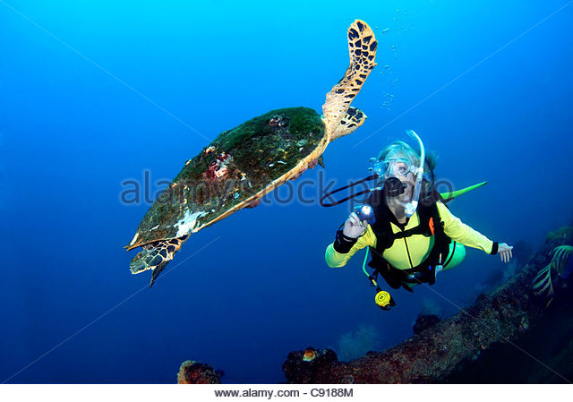 Hawksbill Turtle (Eretmochelys Imbricata) at the SS Yongala Shipwreck Great Barrier Reef QLD Australia - Stock Image