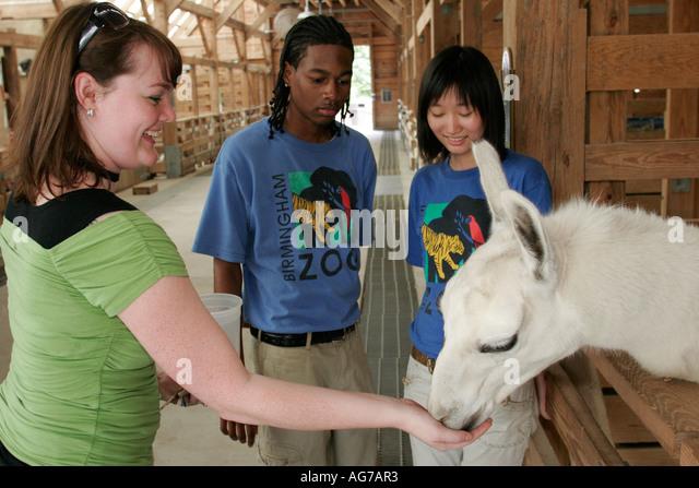 Birmingham Alabama Zoo. petting area llama Black teen Asian - Stock Image