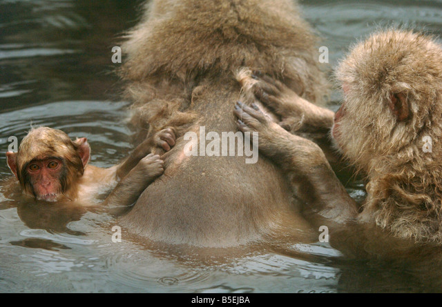 Young Japanese macaques or snow monkeys Macaca fuscata grooming mother in a hot pool Jigokudani monkey park Japan - Stock Image