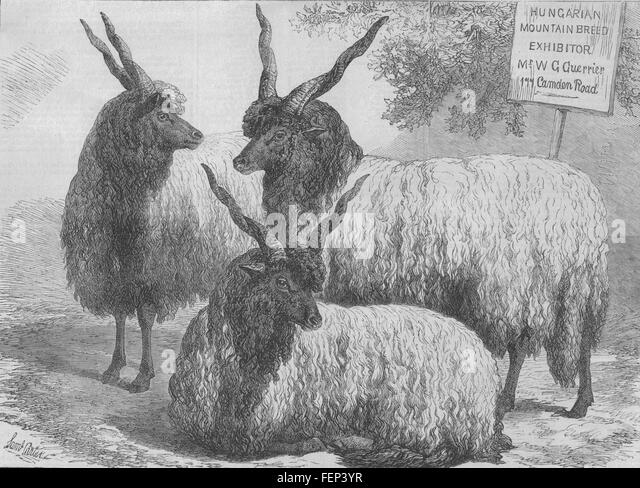 SMITHFIELD SHOW Hungarian Mountain sheep. 177 Camden Road 1868. Illustrated London News - Stock Image