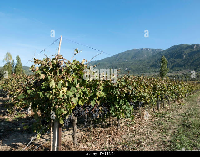 Grapes growing in a vineyard, Gokcealan, Agean region, Turkey. - Stock Image
