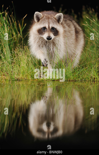 Northern Raccoon (Procyon lotor), adult at night at wetland lake, Fennessey Ranch, Refugio, Coastal Bend, Texas - Stock Image