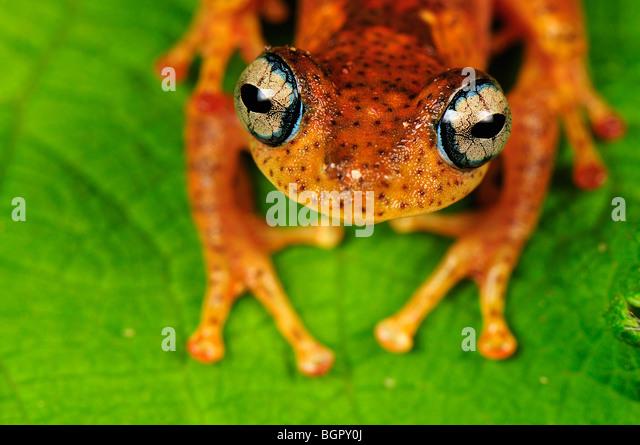 Tree Frog (Boophis tephraeomystax) (Boophis difficilis}, adult, Andasibe-Mantadia National Park, Madagascar - Stock-Bilder