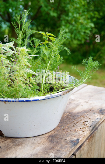Enamel bowl with herbs a the herb garden in Germany. - Stock Image