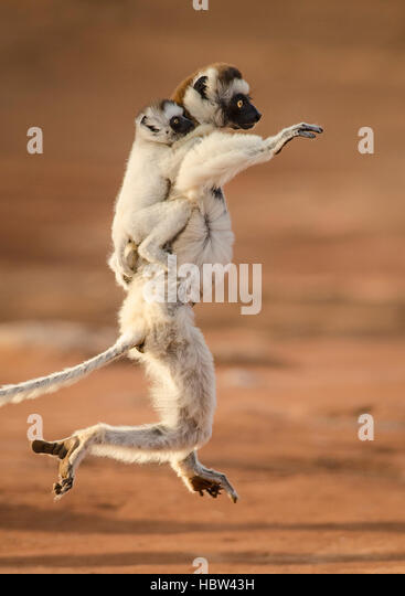 Verreaux's Dancing Sifaka (Propithecus verreauxi) mother and baby - Stock Image