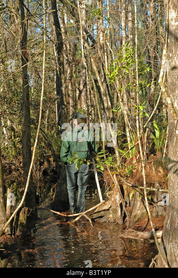 Male hiker stands in water in wet cypress swamp fakahatchee strand preserve state park south florida - Stock Image