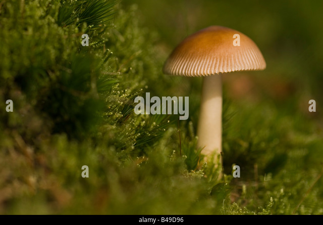 Growing on damp moss on woodland edge Uk. - Stock Image