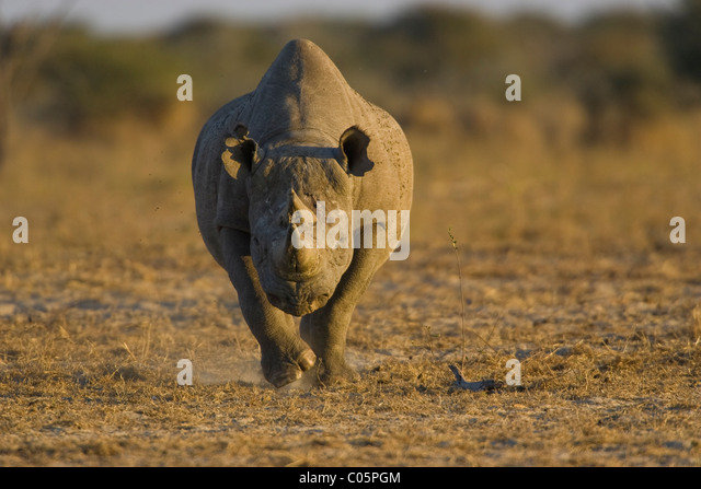 Black Rhino, Etosha National Park, Namibia. - Stock Image