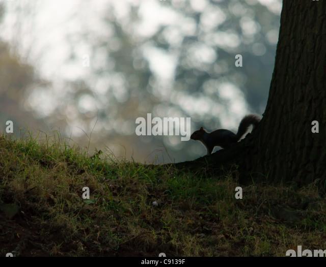 Grey Squirrel (Sciurus vulgaris) - Stock Image