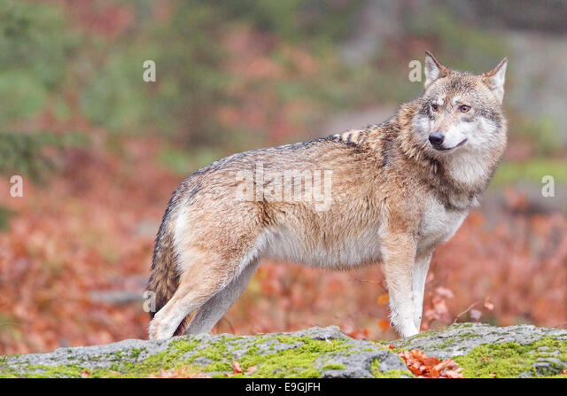 A captive female grey wolf stands on a rock in an autumnal forest, Bavarian Forest National Park, Germany - Stock-Bilder