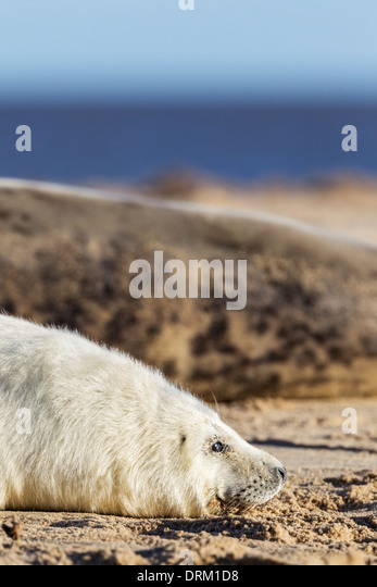 A Grey seal pup rests on the beach protected by its mother, North Sea coast, Norfolk, England - Stock Image