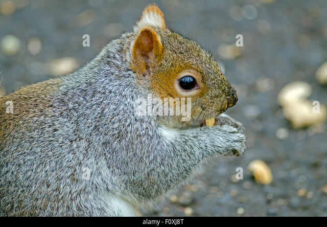 Eastern Gray Squirrel Eating Peanut - Stock Image