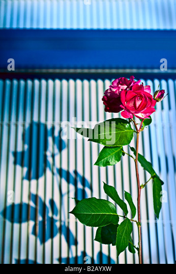 pink garden rose and shadow at dusk on graphic background - Stock Image