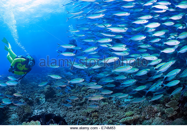 Scuba diving with school of fish - Stock Image