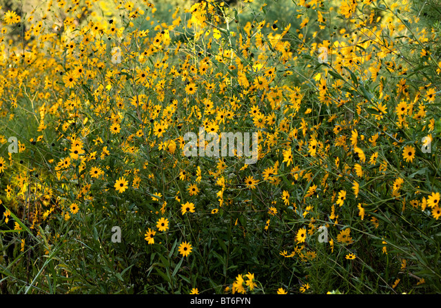 Southern daisy's - Stock Image