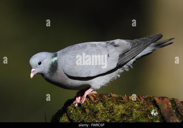 Stock Dove(Columba oenas) - Stock Image