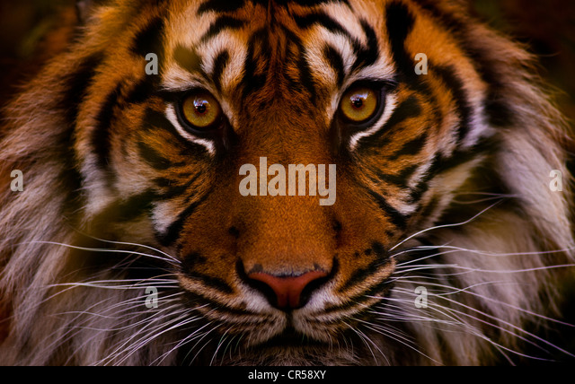 Tiger face - Stock Image