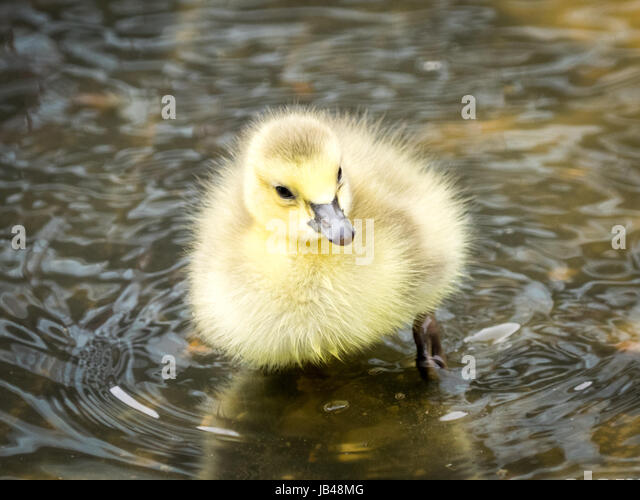 A newborn, day-old, Canada goose gosling wading in shallow water at Century Park in Edmonton, Alberta, Canada. - Stock Image