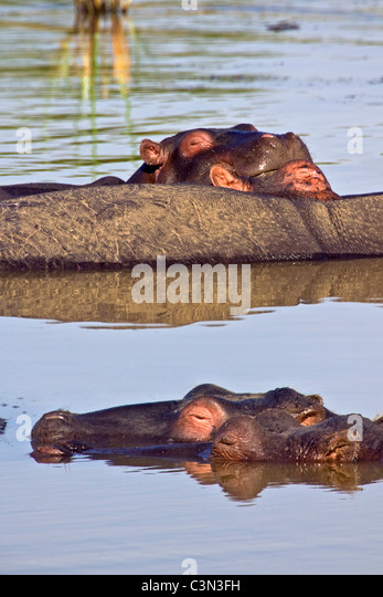 South Africa, near Rustenburg, Pilanesberg National Park. Hippos, Hippopotamus. (Hippopotamus amphibius). - Stock-Bilder