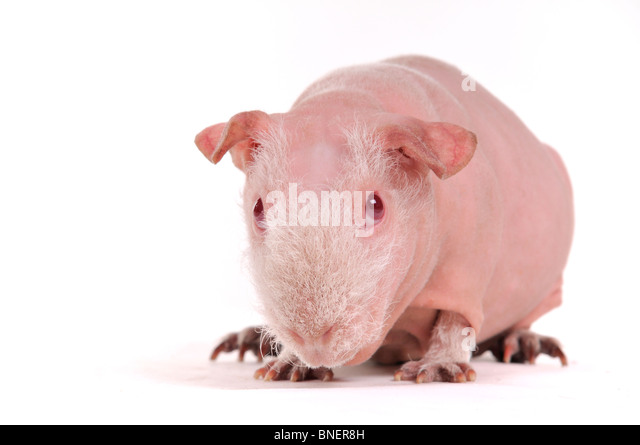 Bald Breeded Cavy Portrait Close-Up - Stock Image