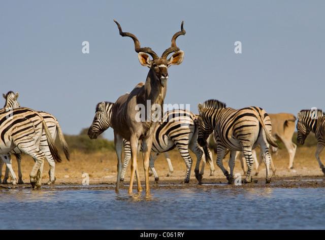 Kudu and zebra at waterhole, Etosha National Park, Namibia. - Stock Image