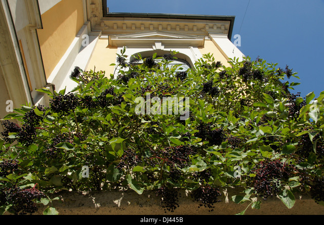elder sambucus nigra stock photos elder sambucus nigra. Black Bedroom Furniture Sets. Home Design Ideas