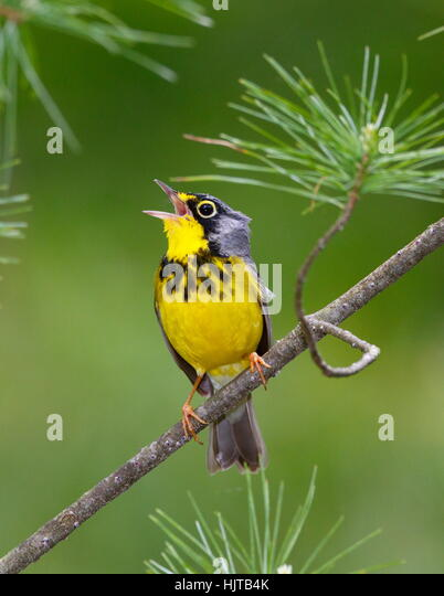 The Canada warbler, Cardinella canadensis, perching on the branch of a tree. - Stock-Bilder