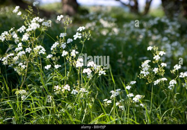 COMMON NAME: Cow parsley Latin name: Anthriscus Sylvestris - Stock Image