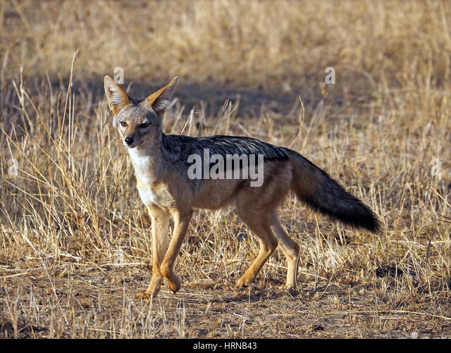 Black-backed Jackal alert in Masai Mara Conservancies, Greater Mara, Kenya, Africa - Stock Image