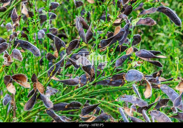 Dried seed pods after dispersing seeds from the pea family in natural open ground. - Stock Image