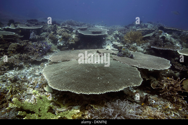 Table coral at Melissa's Garden scuba diving site in the Raja Ampat islands, West Papua - Stock Image