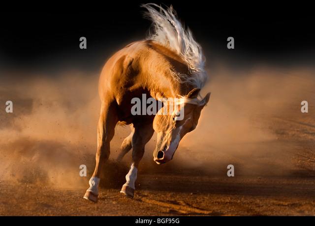 Palomino Stallion - Stock-Bilder