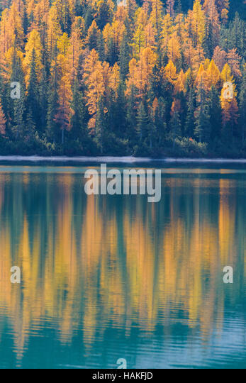 Mountainside with Colorful Larch Trees Reflecting in Lago di Braies in Autumn, South Tyrol, Prags Dolomites, Italy - Stock Image